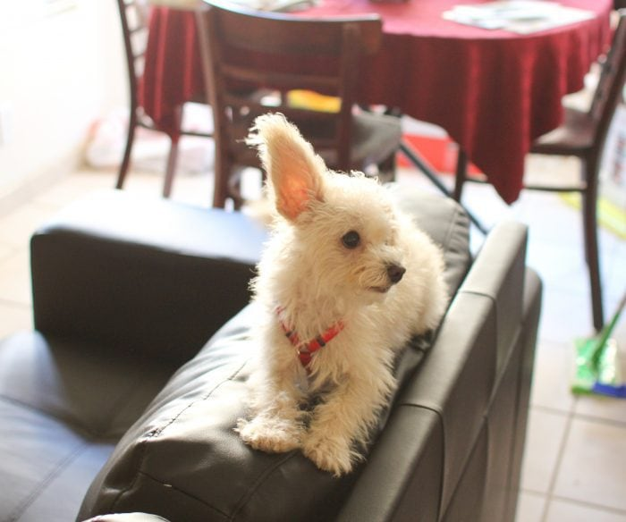photo of a small white dog sitting on the back of a couch