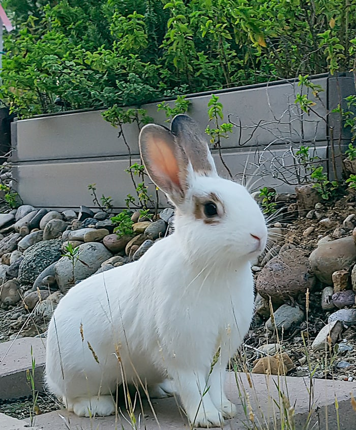 photo of a white rabbit