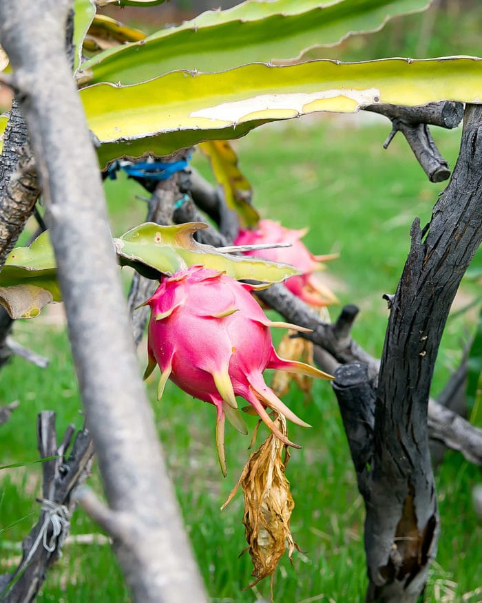 photo of a dragon fruit