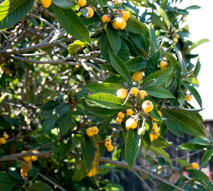 photo of loquats tree