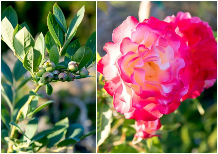 photo collage of blueberry bush and rose bloom