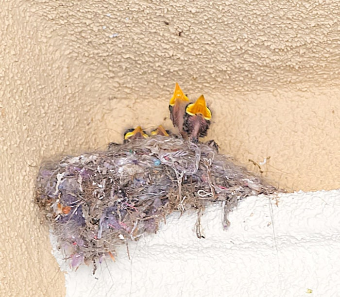 photo of baby birds in a nest